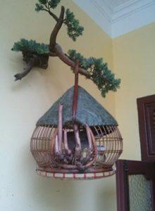 Lồng cu gáy quả đào nóc dừa