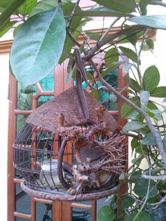 Lồng cu gáy quả đào nóc xơ dừa
