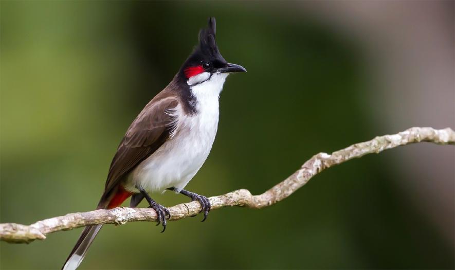 Thuần hóa chim chào mào bổi