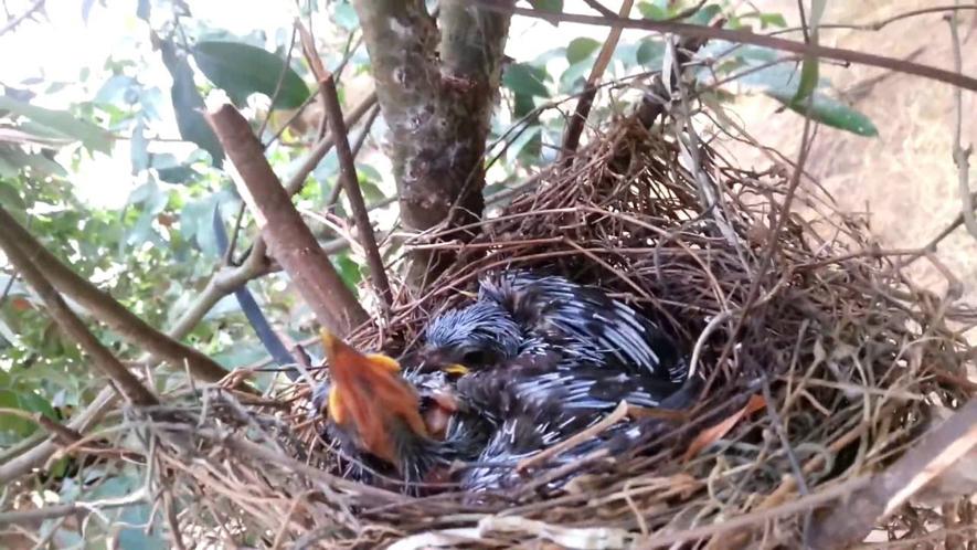 Kỹ thuật nuôi chim khướu sinh sản